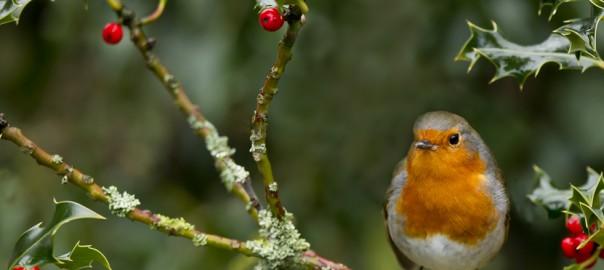 robin in holly tree